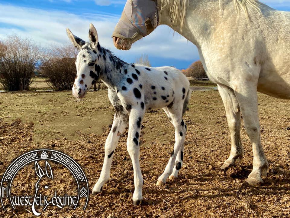 West Elk Archer - Under Contract - West Elk Equine